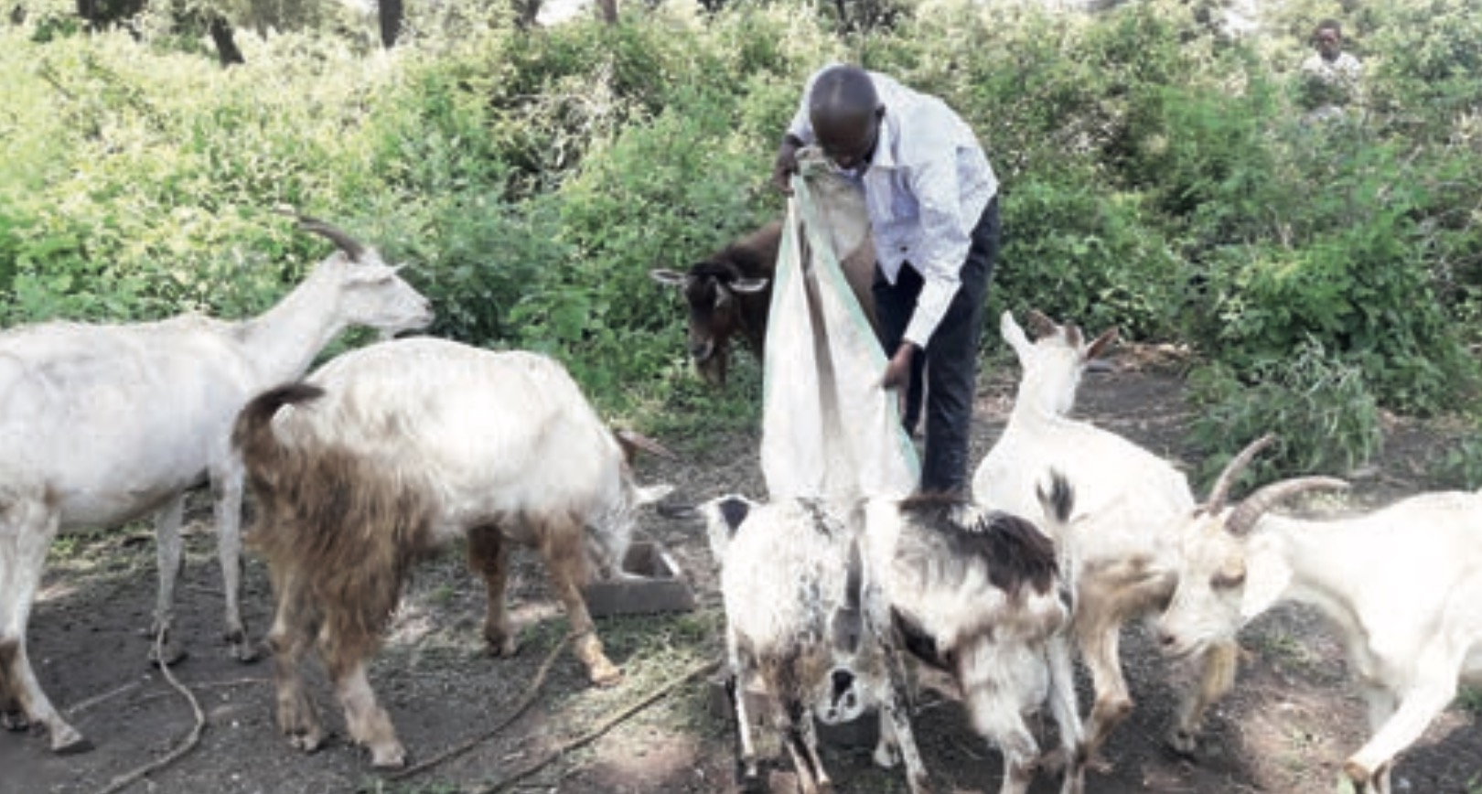 Photo of Lstone PF youths venture into goat-rearing