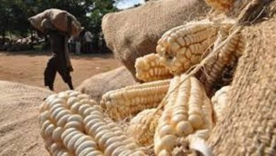 Photo of Zambia to have bumper harvest