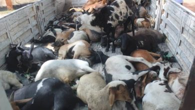 Photo of Zambia, Namibia to partner in goat export deal