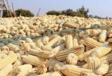 Photo of Don't sell all the maize, farmers advised